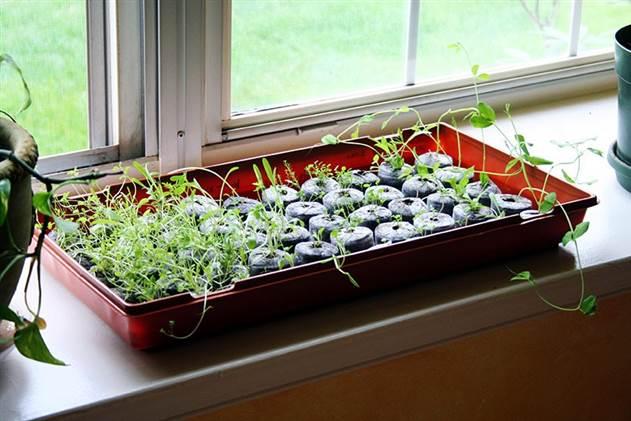 Это важно знать при выращивании рассады!